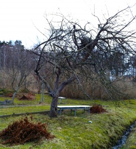 Ett gammalt äppleträd