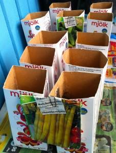 Sådd av buskböna och inläggningsgurka i mjölkkartonger